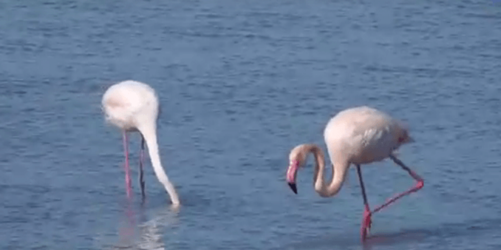 Birdwatching: Flamingo in Lefkas